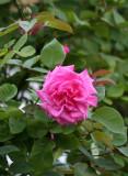 Rosa Zephrine