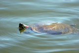 Red Eared Slider Turtle - Harlem Meer