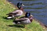 Ducks - Harlem Meer