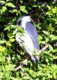 Blue Heron - Harlem Meer