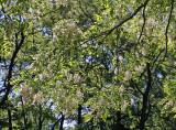 Black Locust Tree Grove near the Great Hill