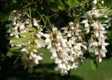 Black Locust Tree Grove Blossoms near the Great Hill