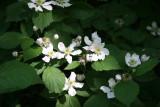 Berry Bush Blossoms = North Pool Area