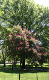 Chestnut Tree Blossoms near CPW at 96th Street