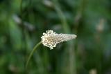 Unknown Flower Bud