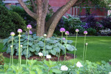 Garden View - Allium