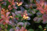 Barberry Bush Blossoms