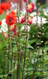Coral Bells, Poppies & Peonies