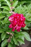 Peony Blossom & Coral Bells