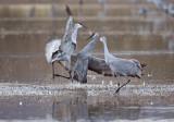 Sparring Sandhill Cranes
