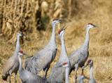 Sandhill Cranes Squawking