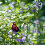 Butterflies at Sweetbrier
