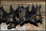 Bats in the watermill at Glen Avon