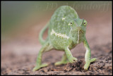 Flap-necked chameleon stare-down contest