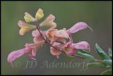 Salvia sp., Lamiaceae