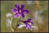 Ixia rapunculoides, Iridaceae
