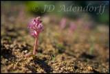 Lachenalia carnosa, Hyacinthaceae