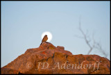Bunting at moonrise