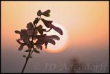 Salvia at sunset