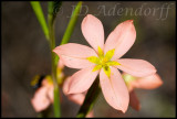 Moraea minima, Iridaceae