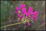 Pelargonium incrassatum, Geraniaceae