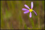 Unidentified, Asteraceae