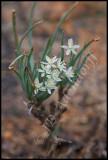 Trachyandra sp., Asphodelaceae