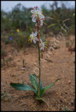 Chlorophytum sp.