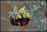 CMR beetle