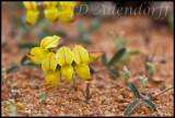 Unidentified, Fabaceae