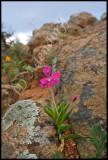 Lapeirousia silenoides, Iridaceae