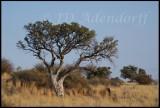 Shepherd's tree, Upington