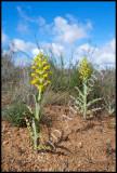 Corycium crispum, Orchidaceae
