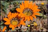 Gazania sp., Asteraceae