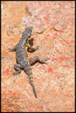 Girdled lizards decorate the rocks at Skilpad