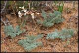 Pelargonium sp., Geraniaceae