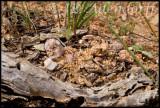 Toad grasshopper