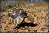 The eponymous angulate tortoise (Skilpad means tortoise)