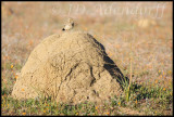 Termite mounds provide a great calling spot for the many larks
