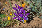 Babiana sp., Iridaceae