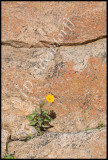 Namaqualand daisies will grow wherever they can get a foothold.