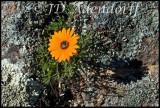 Ursinia sp., Asteraceae