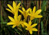 Cyrtanthus breviflorus, Amaryllidaceae