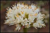 Haemanthus montanus, Amaryllidaceae