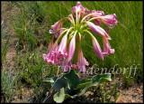 Crinum graminicola, Amaryllidaceae