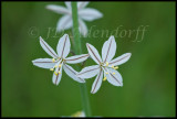 Trachyandra asperata, Asphodelaceae