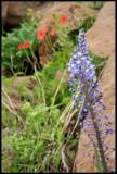 Merwilla plumbea (Scilla natalensis), Hyacinthaceae