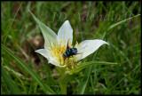 Colchicum sp., Colchicaceae