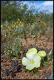Grielum sp., Rosaceae