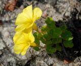 Oxalis luteola, Oxalidaceae
